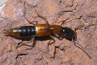 <i>Homaeotarsus</i> Genus of beetles