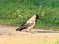 Hooded Crow-Mindaugas Urbonas.jpg