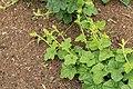 Horngurke - Kiwano - Cucumis metuliferus im Garten, kletternd 02 ies.jpg