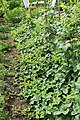 Horngurke - Kiwano - Cucumis metuliferus im Garten, kletternd 08 ies.jpg