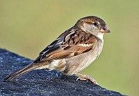 House Sparrow (Passer domesticus)- Female in Kolkata I IMG 3787