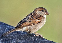 House Sparrow (Passer domesticus)- Female in Kolkata I IMG 3787.jpg