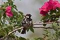 House Sparrow (male) Hildago Pump House Mission TX 2018-03-18 11-44-44 (40179109844).jpg