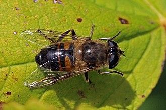 Eristalis tenax - Image: Hoverfly (Eristalis tenax) female