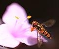 Hoverfly - 花虻(ハナアブ) (8849868178).jpg