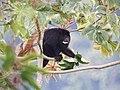 Howler Monkey (16370682608).jpg