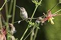 Hummingbird 413 (35490761392).jpg