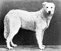 Hungarian Sheepdog from 1915.JPG