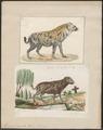 Hyaena crocuta - 1700-1880 - Print - Iconographia Zoologica - Special Collections University of Amsterdam - UBA01 IZ22200089.tif