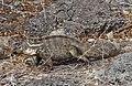 Hybrid iguana.jpg