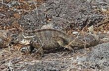 220px Hybrid iguana