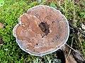 Hydnellum caeruleum 13082091.jpg