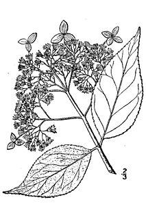 <i>Hydrangea cinerea</i> species of plant