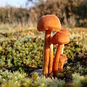 Hygrocybe fungi at Thursley (1) (geograph 2710197).jpg