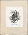Hylobates variegatus - 1700-1880 - Print - Iconographia Zoologica - Special Collections University of Amsterdam - UBA01 IZ19800107.tif