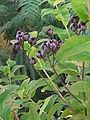 Hypericum hircinum Salina 505.jpg
