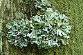 Hypogymnia.physodes.closeup.jpg