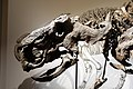 Iddesleigh ceratopsian Royal Tyrrell 1.jpg
