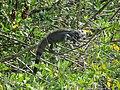 Iguana - panoramio (6).jpg