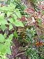 Iguana in the garden.jpg