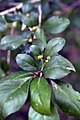Ilex decidua Warrens Red 7zz.jpg