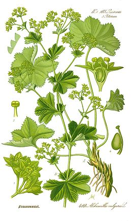 Illustration Alchemilla vulgaris0 clean.jpg