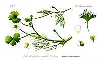 Illustration Ranunculus aquatilis1