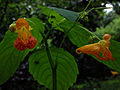 Impatiens capensis - Spotted Jewelweed 2.jpg