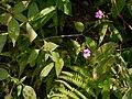 Impatiens gardneriana Wight (30939693982).jpg