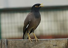 Indian Myna in Patiala.jpg