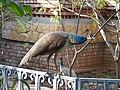 Indian Peafowls Pavo cristatus juvenile by Dr. Raju Kasambe DSCN3402 (1).jpg