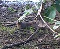 Indian Small Mongoose. Herpestes auropunctatus. - Flickr - gailhampshire.jpg
