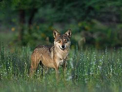 Indian Wolf.jpg