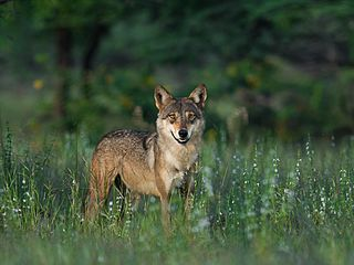 Indian wolf subspecies of mammal