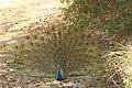 Indian peafowl (2).jpg
