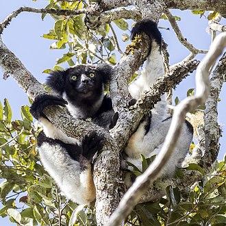 Indri - in Analamazaotra Special Reserve