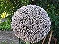 Inflorescencia de Allium cepa.jpg