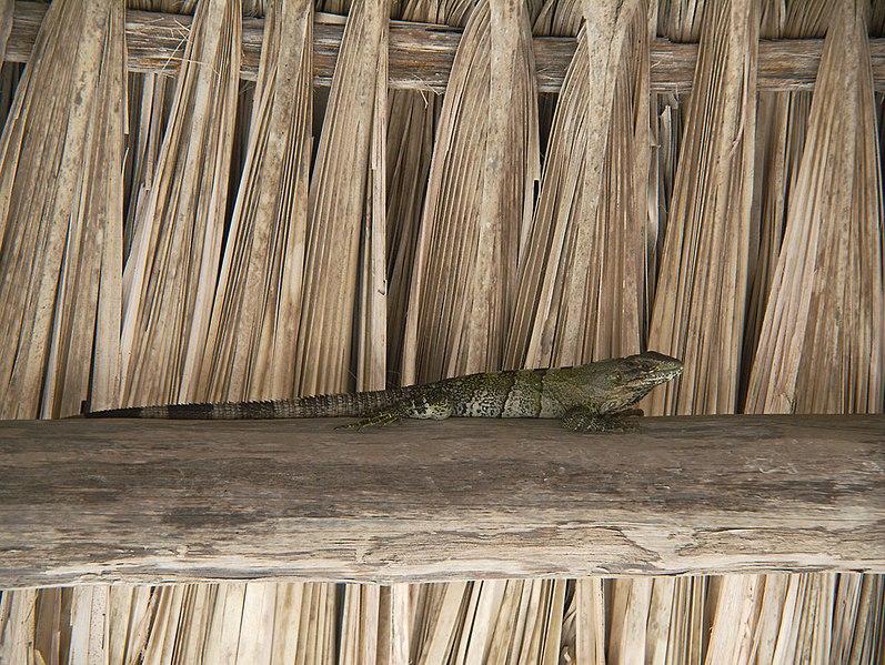 File:Inhabitant of the Beach Palapa (5307784174).jpg