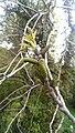 Initial growing phase of walnut.jpg