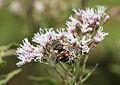 Insect feeding Eupatorium cannabinum 05.jpg