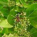 Insects Bee from Madayipara DSCN2174.jpg