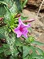 Interacción planta-insecto - Flor maravilla (Mirabilis jalapa).jpg