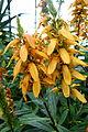 Isoplexis canariensis - Longwood Gardens - DSC01270.JPG