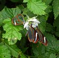 Ithomia patilla.(on right hand side) - Flickr - gailhampshire.jpg