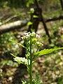 Jíloviště, Cukrák, kvetoucí rostlina.JPG
