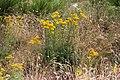 Jacobaea adonidifolia-0770 - Flickr - Ragnhild & Neil Crawford.jpg