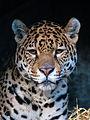 Jaguar (11280143524).jpg