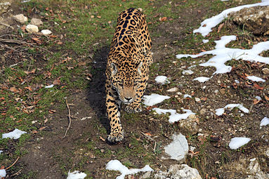 Jaguar (Panthera onca) Zoo Salzburg 2014 e.jpg