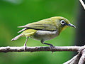 Japanese White-eye RWD3.jpg