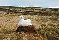Jeune Albatros - Crozet.jpg